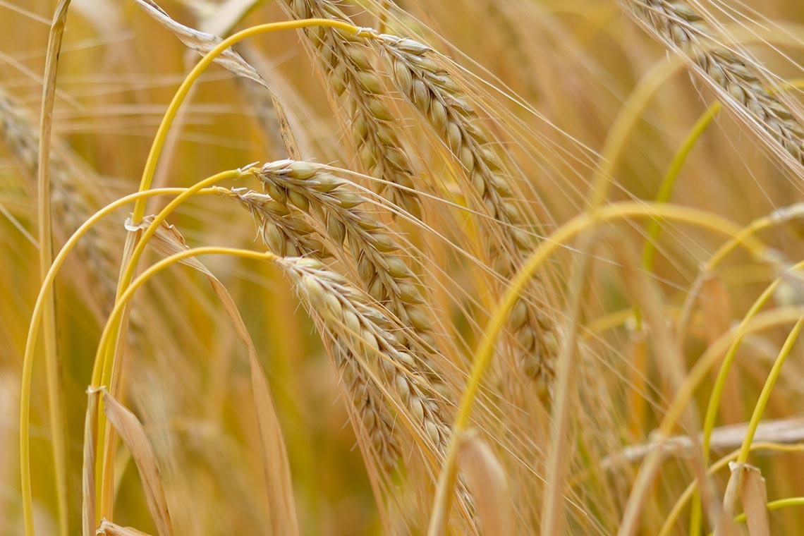 Whiskyherstellung: Rohstoff - Getreide